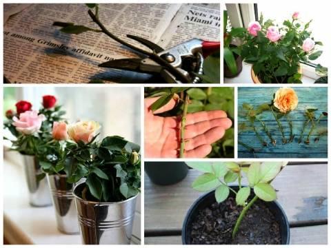 Как вырастить розу из черенка: особенности несложной агротехники