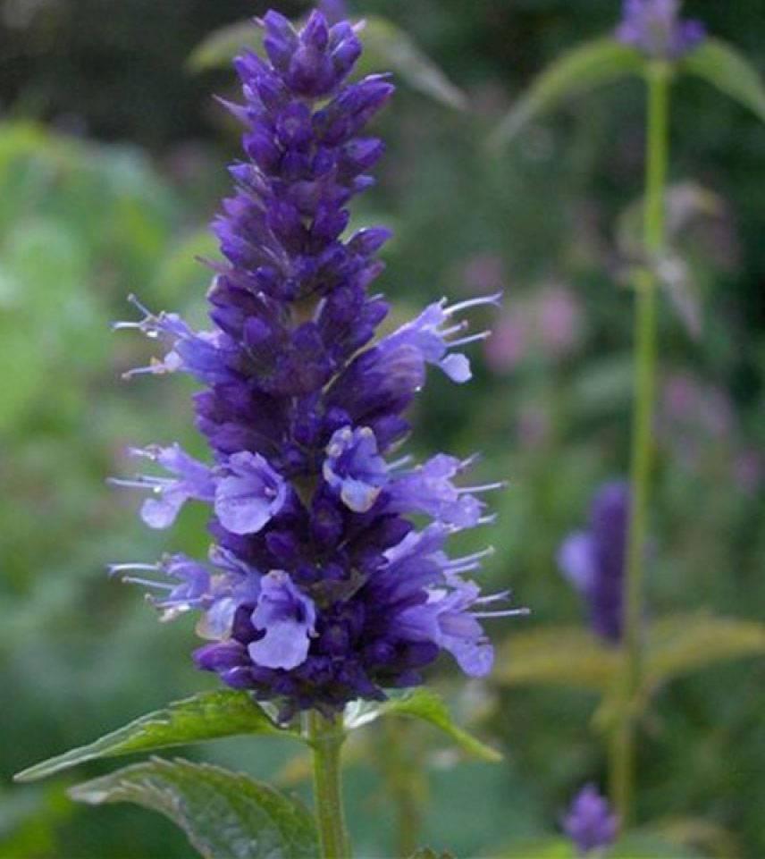 Синий зверобой или иссоп – лечебная травка на вашей клумбе