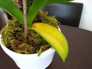 Что делать, если у орхидеи желтеют листья?