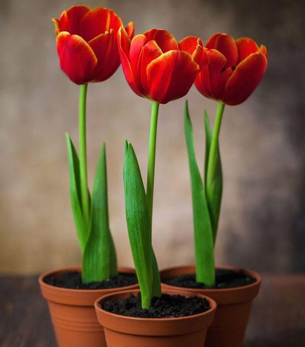 Когда сажать тюльпаны на выгонку к 8 марта дома