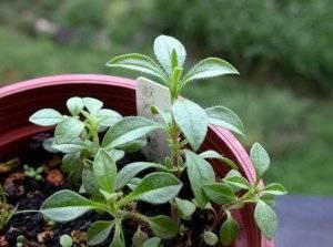 Выращивание кивано в домашних условиях