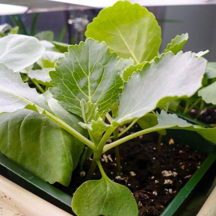 Выращивание брокколи в открытом грунте