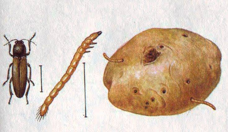 Меры борьбы с жуком-щелкуном и его личинкой проволочником на огороде