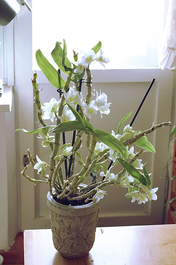 Почему у вашей орхидеи вялые листья? ищем ответы