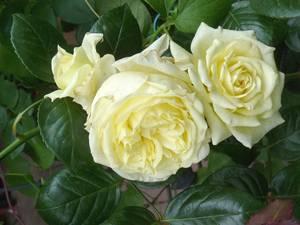 Разновидность чайно-гибридной розы «двойное удовольствие»