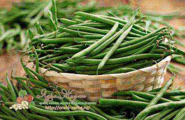 Спаржевая фасоль на дачном участке: когда и как посадить эту высокоурожайную культуру