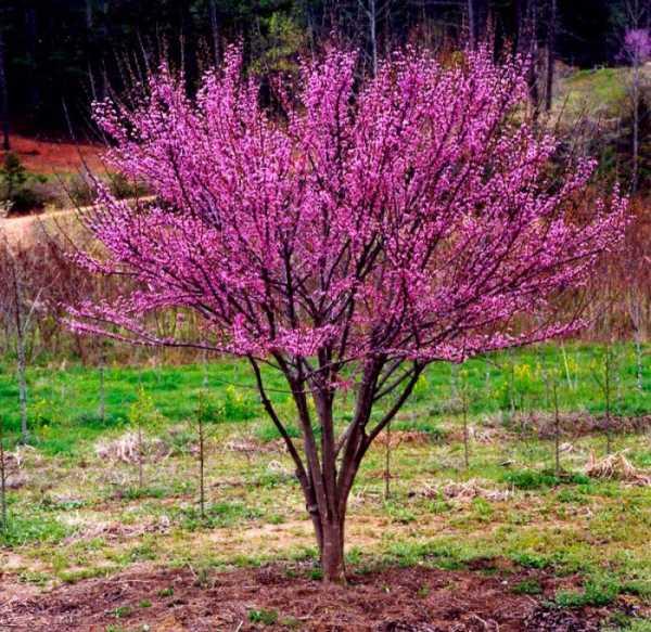 Церцис, иудино дерево: выращивание и уход