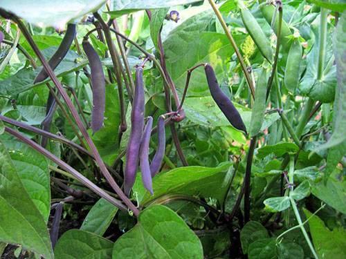 7 самых популярных бобовых для вашего огорода