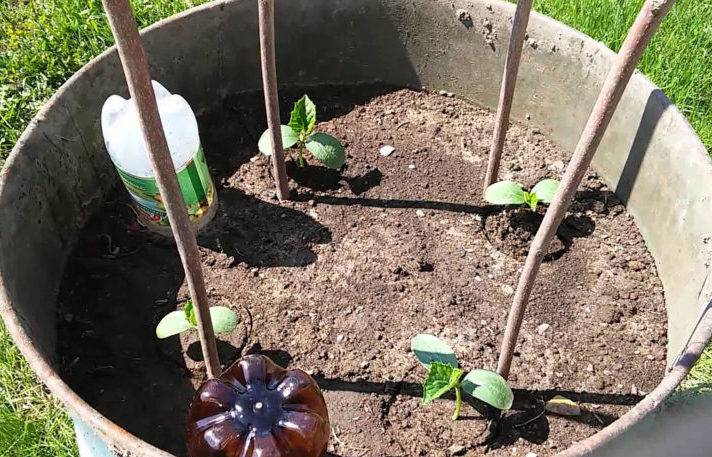 Описание методов выращивания огурцов в стаканчиках на рассаду, в пластиковых бутылках, мешках и даже в скорлупе яйца