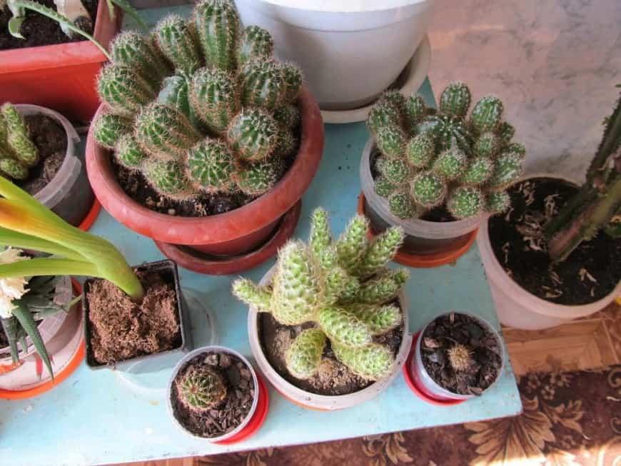Размножение кизильника: 4 основных способа