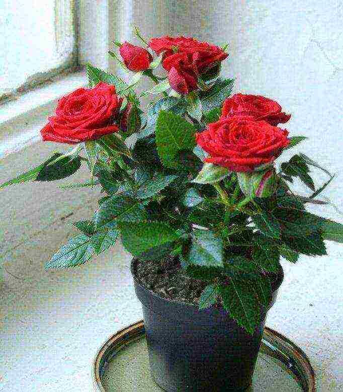 Как правильно сажать розы, купленные в картонной коробке