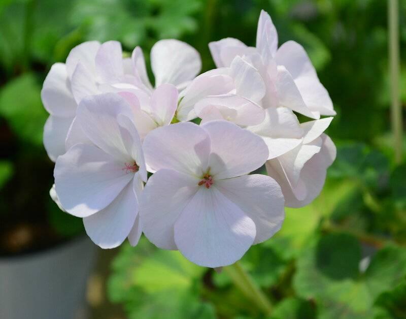 Пеларгония розебудная: описание сортов и особенности ухода
