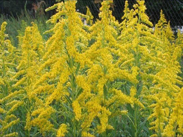 Советы для аллергиков: что делать, когда цветет амброзия