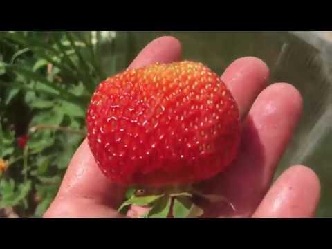 Чем подкормить клубнику во время плодоношения
