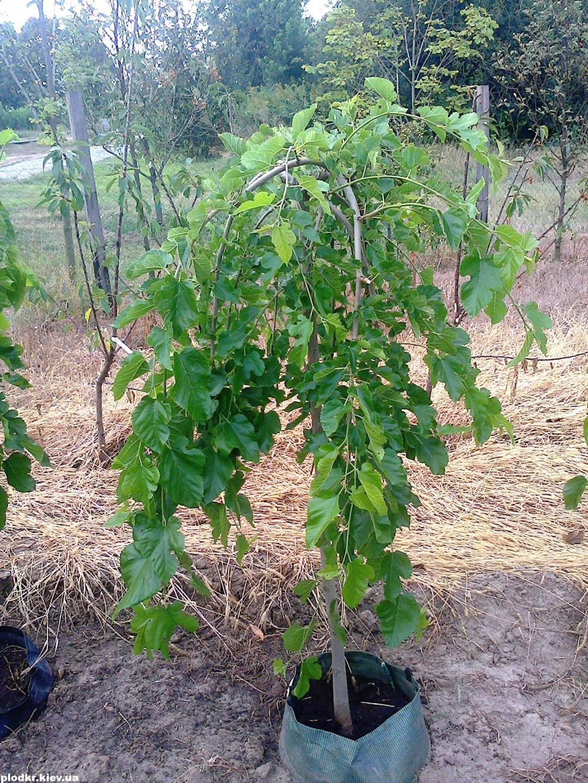 Особенности выращивания шелковицы в средней полосе, правила ухода