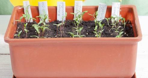 Выращивание флоксов из семян: все тонкости процесса