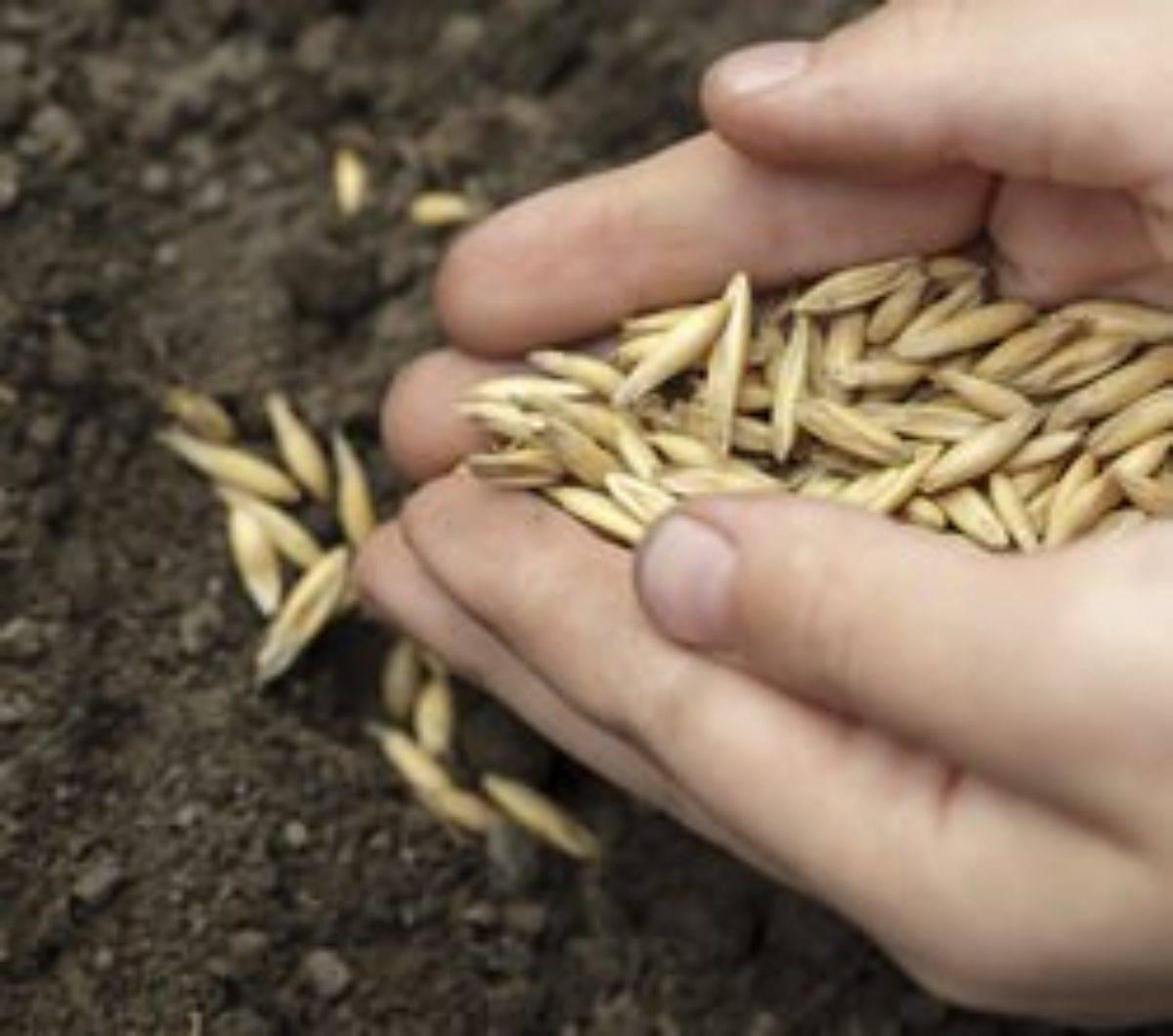 Рожь как сидерат: посадка, выращивание, способы применения