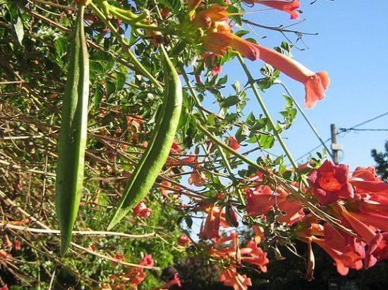Живая цветущая изгородь из яркой лианы кампсиса