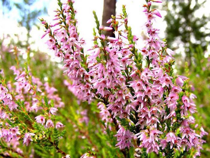 Вереск легенды о цветах. символ шотландии вереск — кустарник бессмертия