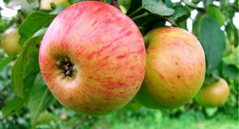 Яблоня уэлси – 8 особенностей и 10 советов по посадке и уходу