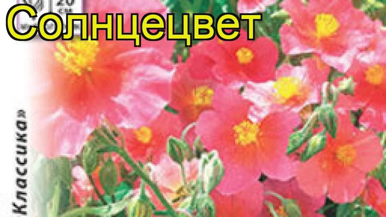Солнцецвет: выращивание, посадка и уход в открытом грунте