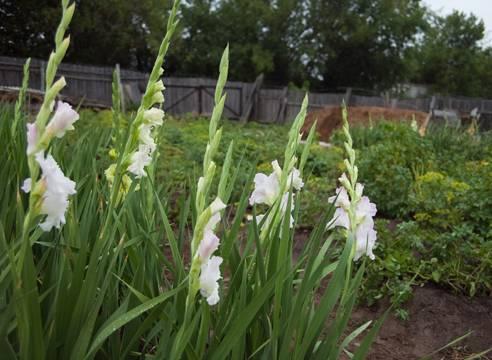Как выращивать гладиолусы: подкормка и уход в открытом грунте. особенности полива