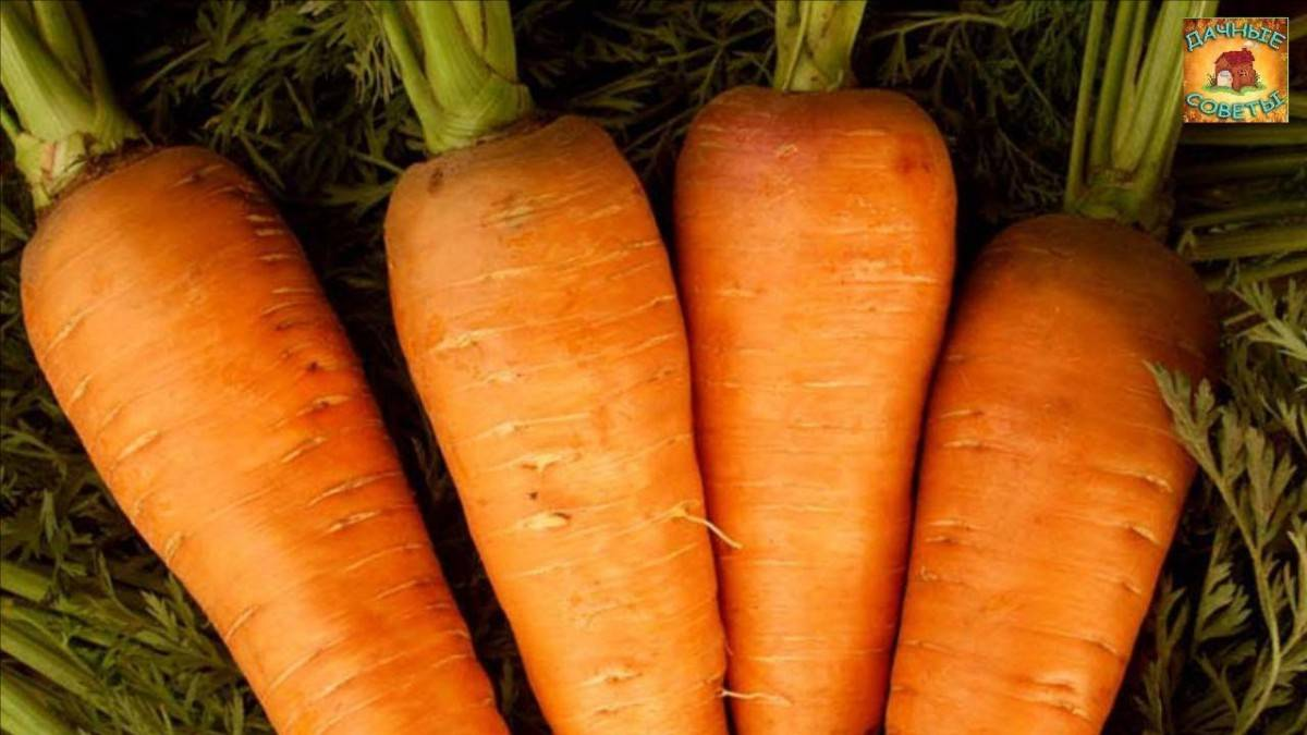 Технология выращивания моркови в открытом грунте