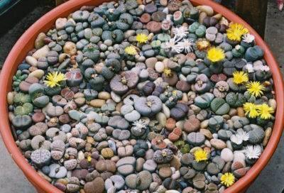 Литопсы (известны так же, как «живые камни»)