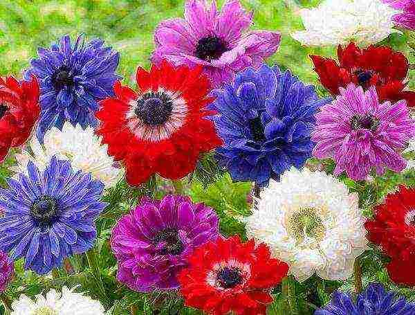 Выгонка анемоны: как приурочить цветение к нужной дате