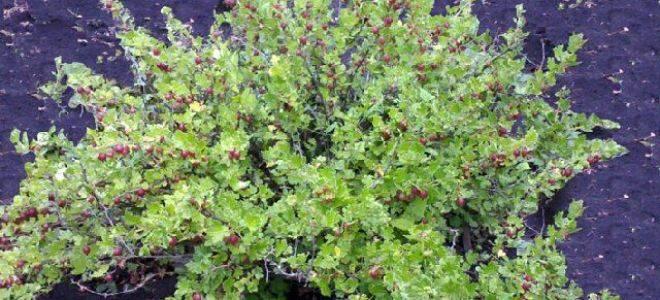Крыжовник командор: описание бесшипного сорта, правила выращивания и отзывы садоводов