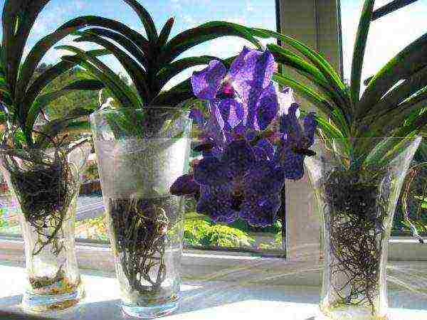 Выращивание и уход за цветами орхидея ванда