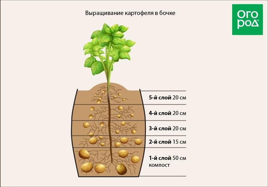 Посадка картофеля под солому: огород без хлопот