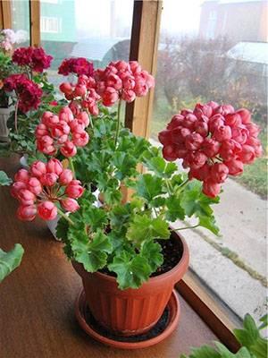 Обильное и длительное цветение герани: как и чем подкормить растение дома или на дачном участке?