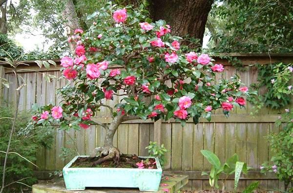 Камелия (комнатные цветы): разновидности сортов, описание, посадка и уход