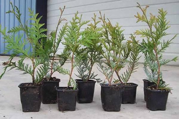 Туя из семян – выращивание в домашних условиях