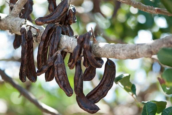 Полезные свойства и инструкция по применению рожкового дерева