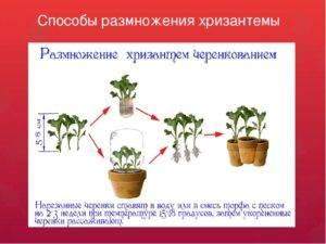 Как размножить хризантему?