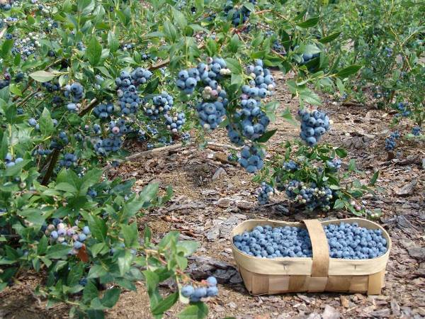 Клюква: агротехника ухода при выращивании в саду