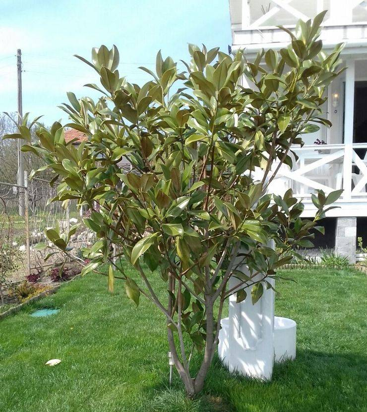 Магнолия: посадка и уход в саду, виды и сорта