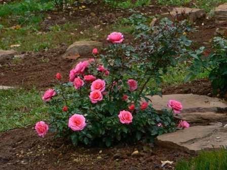 Как правильно посадить розу весной. особенности весенней посадки роз, купленных в коробке – видео. хранение саженцев в подвале