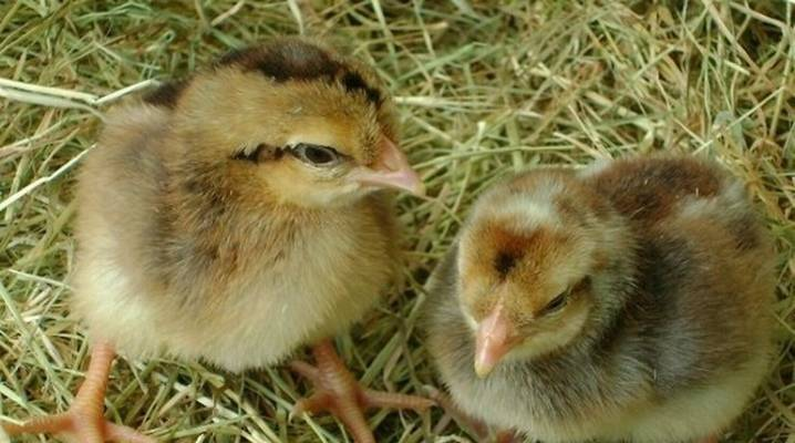 Таинство размножения у кур