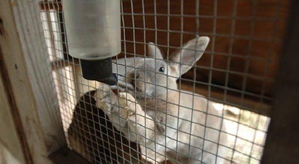 Как сделать поилку для кроликов своими руками?