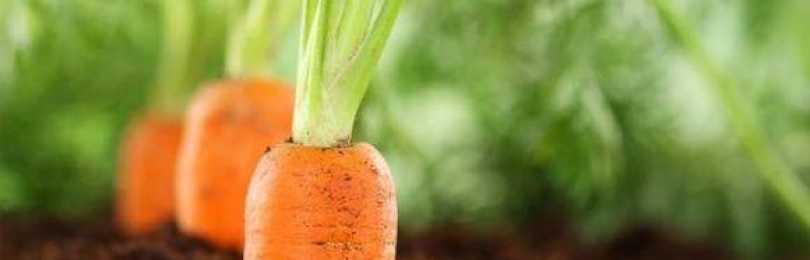Чем подкормить свеклу и морковь народными средствами?