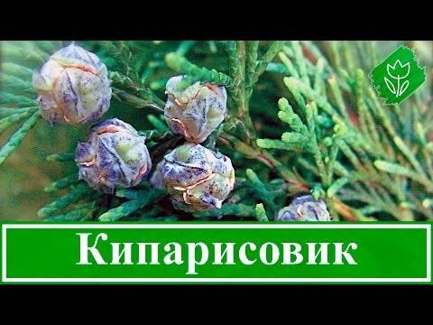 Кипарисовик новогодний: описание, посадка и уход
