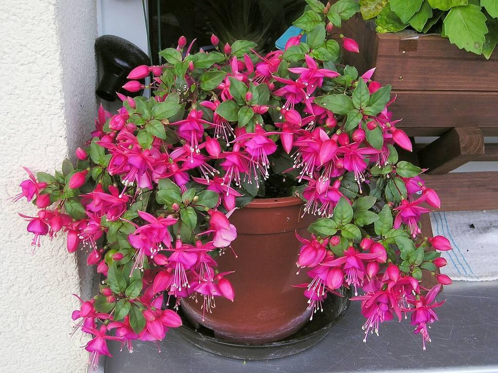 Декоративный цветок фуксия на вашем окне! фото, посадка и уход