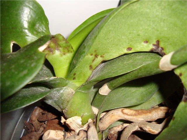 Что делать, если у фаленопсиса липкие листья? их фото и рекомендации по лечению болезней