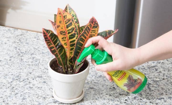 Как ухаживать за кротоном в домашних условиях
