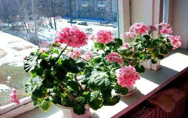 Пеларгония ампельная или герань — выращивание и уход в домашних условиях