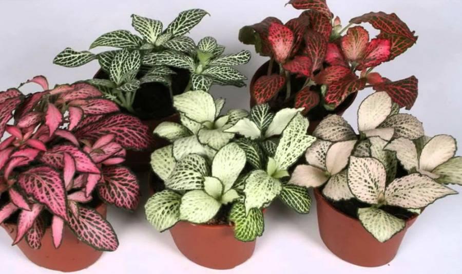 Выращиваем фиттонию в саду: как посадить, ухаживать и защитить от вредителей