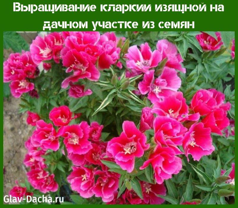 Кларкия изящная выращивание из семян